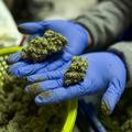 Marihuanový biznis: Švajčiari uviedli na trh nástroj na ochranu investorov pred zmenou právnych predpisov